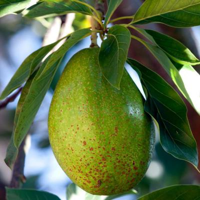 guide avocado tree auckland
