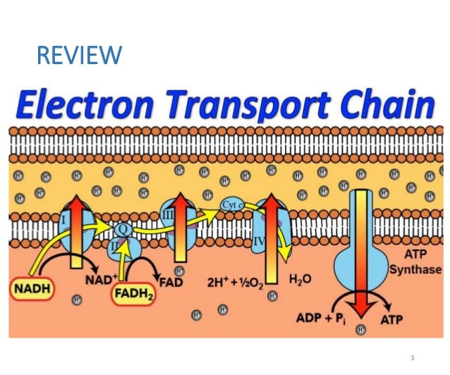 inhibitors and uncouplers of electron transport chain pdf